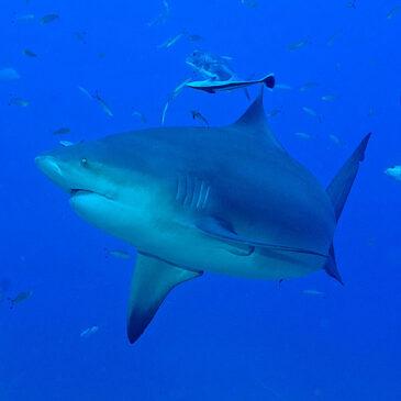 Squali e turismo. L'unico squalo buono è quello vivo.