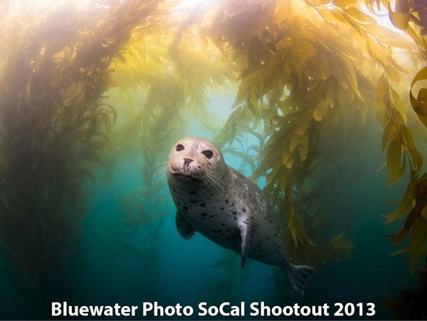 Harbor Seal in Kelp