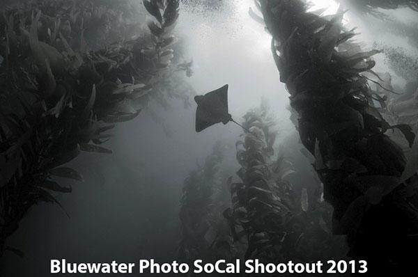 Bat Ray in Kelp Forest
