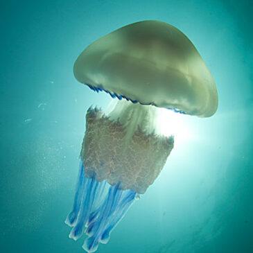 L'insostenibile leggerezza della medusa
