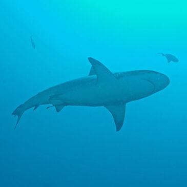 Fratello squalo