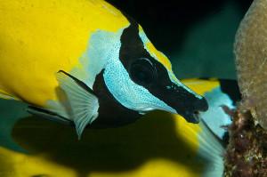 Il pesce coniglio Siganus vulpinus in azione, sta per addentare un ciuffo di alghe.