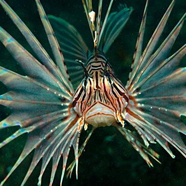 La memoria del lionfish