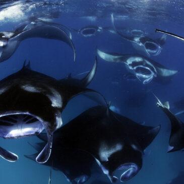 Maldive estive, tra mante e squali balena