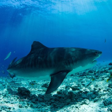 Maldive, the Great Shark Expeditions