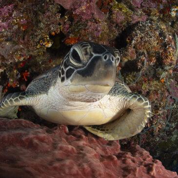 Le tartarughe di Siladen