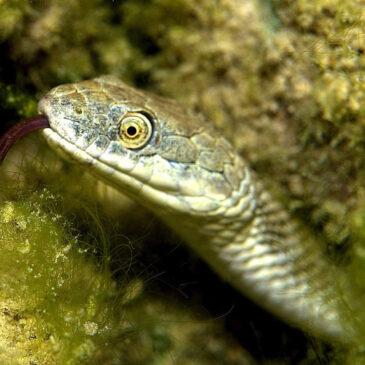 La biscia tassellata, predatore temibile per i pesci