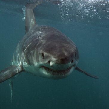 I migliori siti per immergersi con gli squali