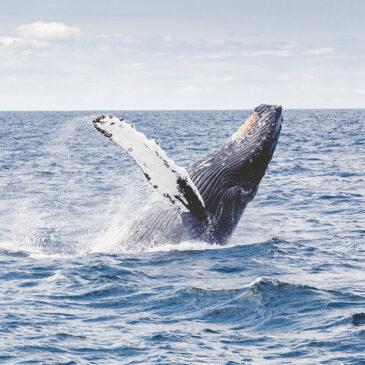 La malattia da decompressione può colpire le balene?