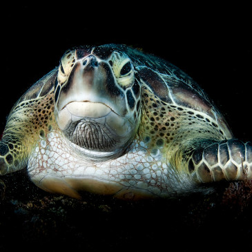 Sembra cibo ed odora come il cibo: ecco perché le tartarughe mangiano la plastica