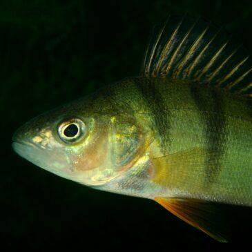 Il pesce persico alieno dal '700