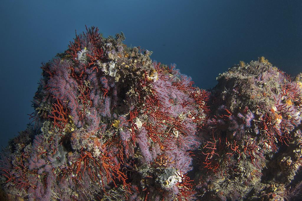 corallo calafuria